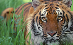 The-best-top-desktop-tiger-wallpapers-hd-tiger-wallpaper-30.jpg