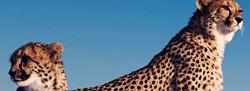 Cheetahs-on-Termite-Mound_edited.jpg