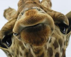 giraffe_wallpaper.jpg