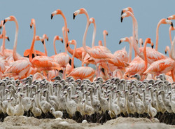 flamingo-babies.jpg