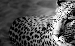Tiger-Widescreen-HD.jpg