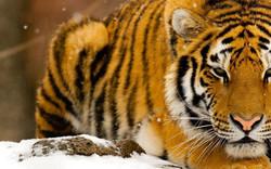 Wild-Tiger.jpg