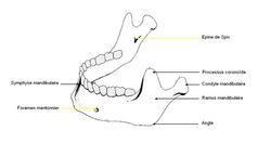 Anatomie de la mandibule