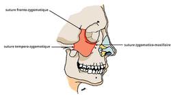 Anatomie de l'os zygomatique