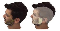 Trajet du nerf facial (VII)