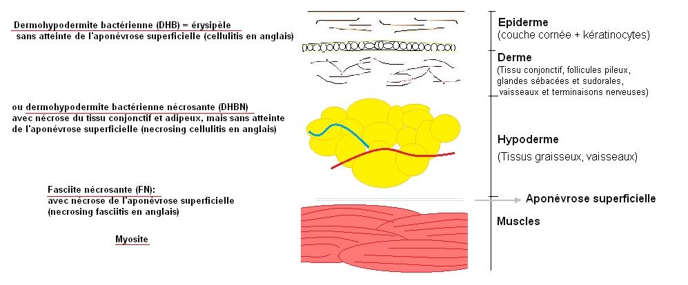 Anatomie générale de la peau