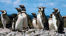Já ouviu falar do Pingüim de Magalhães?