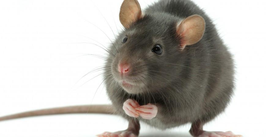 A influência dos ratos - Ilha de Páscoa