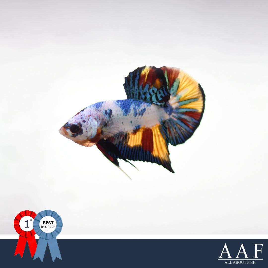 ชนะเลิศปลากัดจูเนียร์ครีบสั้น