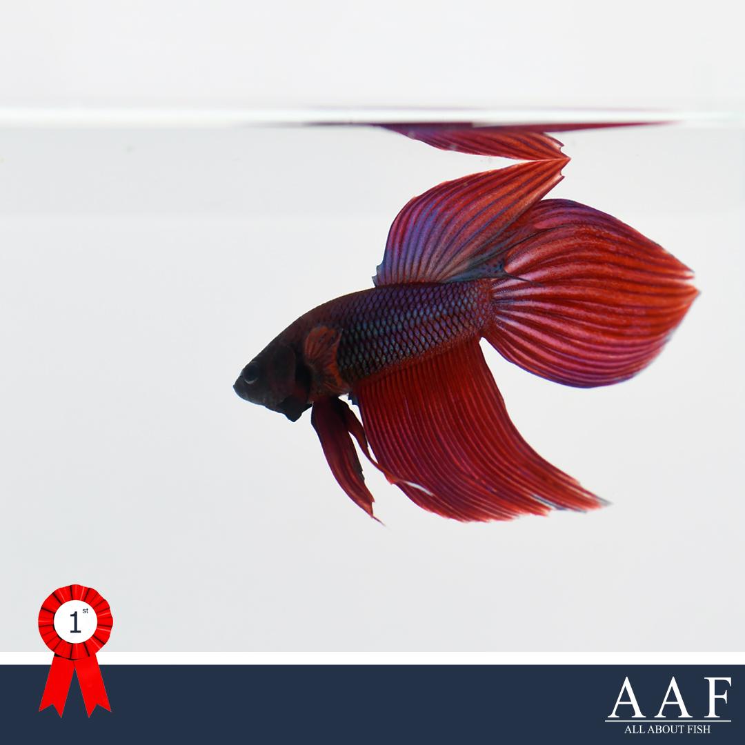 ชนะเลิศปลากัดครีบยาว