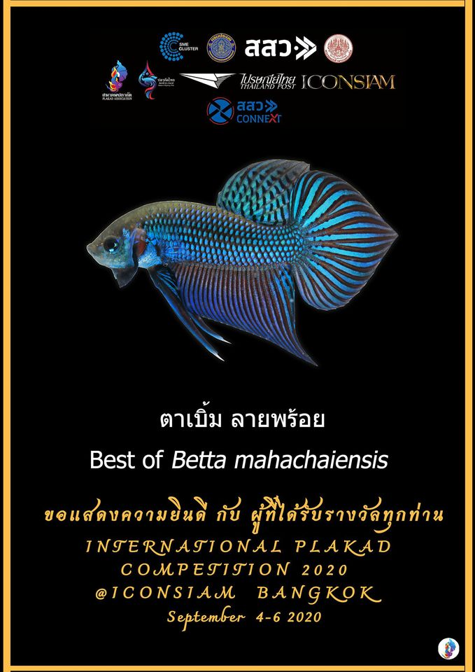 Best of Betta Mahachaiensis