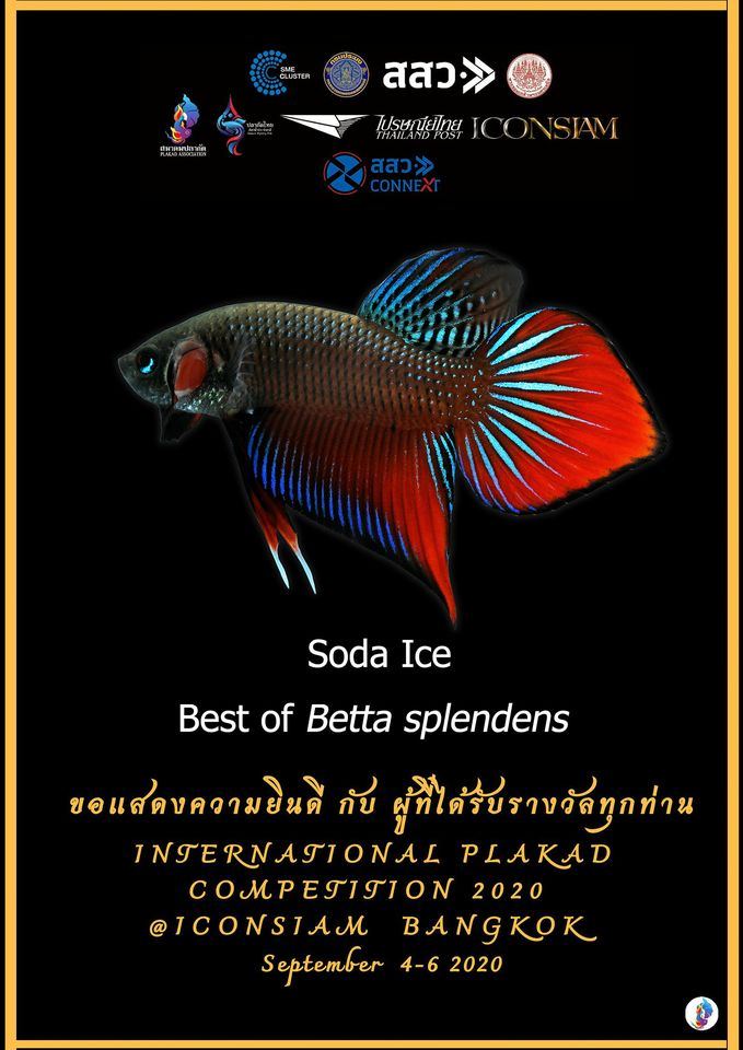 Best of Betta Splendens