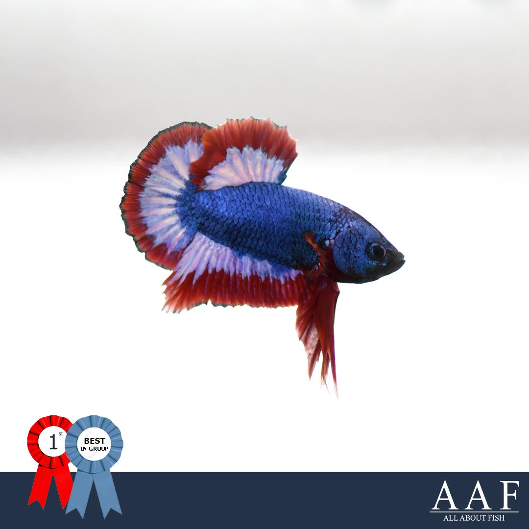ชนะเลิศปลากัดลวดลายธงชาติ