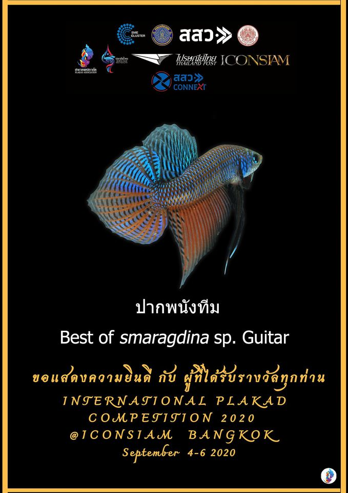 Betta of Smaragdina Sp.Guitar