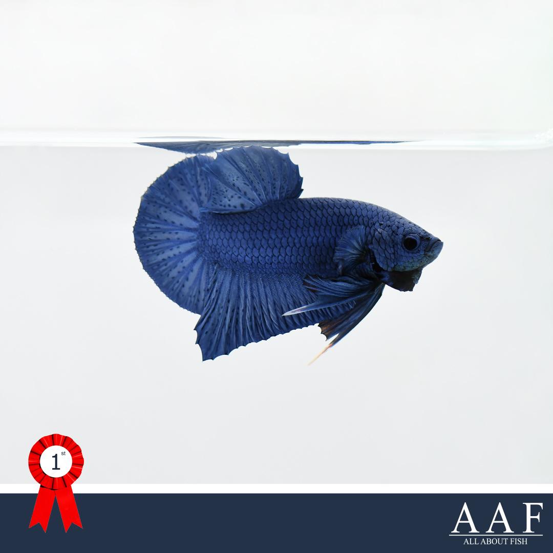 ชนะเลิศปลากัดครีบสั้น
