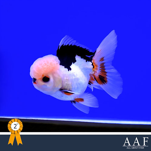 Goldfish 4