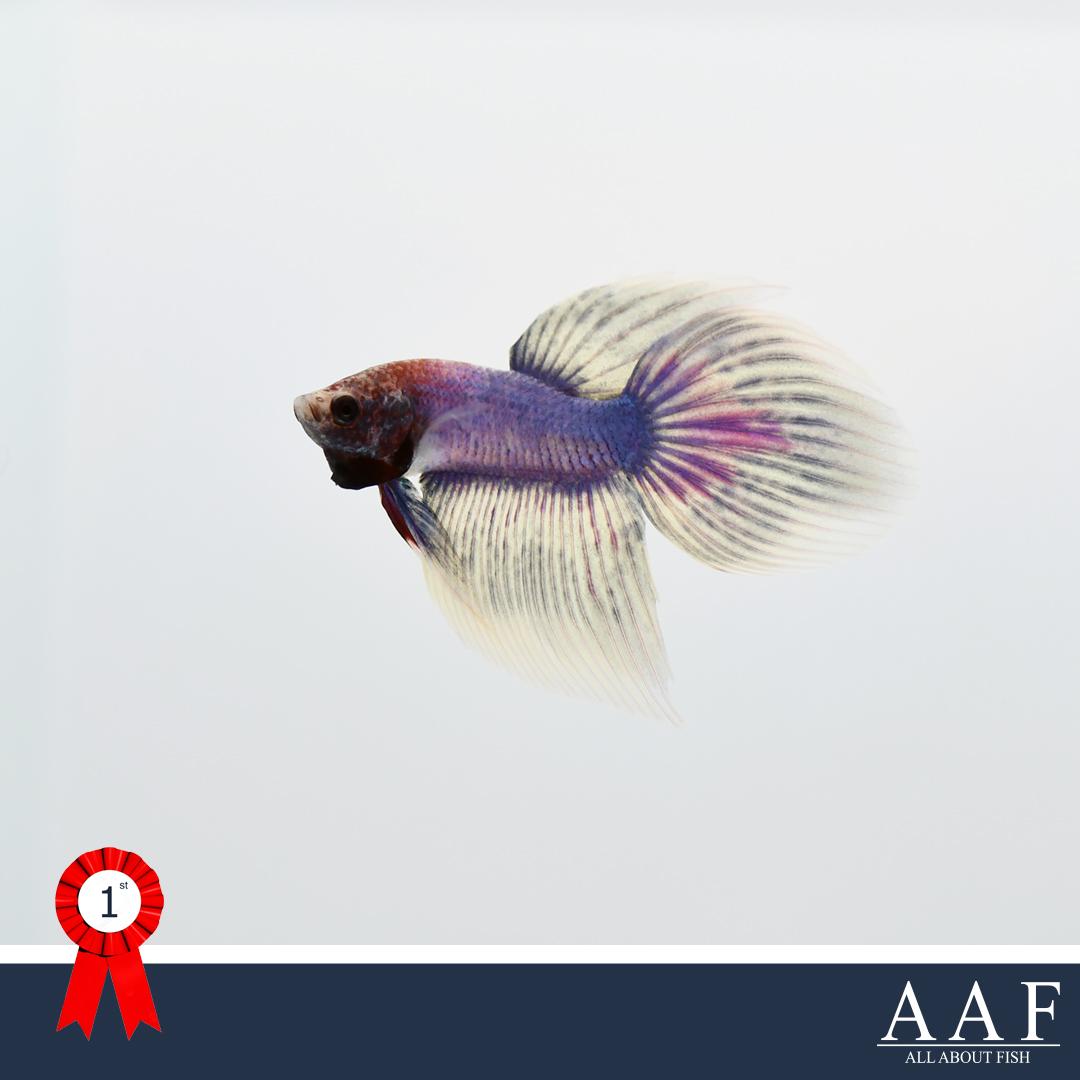 ชนะเลิศปลากัดจูเนียร์ครีบยาว