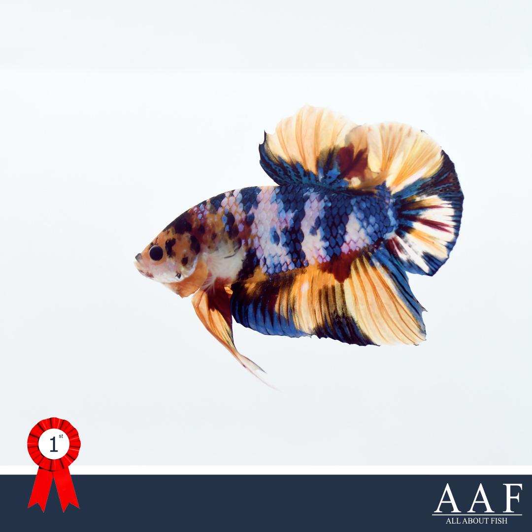 ชนะเลิศปลากัดจูเนียร์