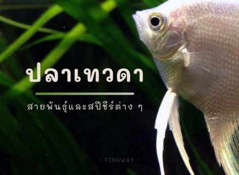 สายพันธุ์ปลาเทวดา (Angelfish)