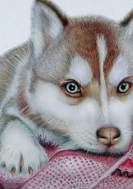 Siberian Huskey