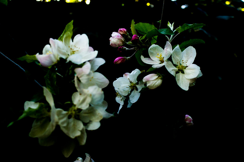 苹果花 Apple flower