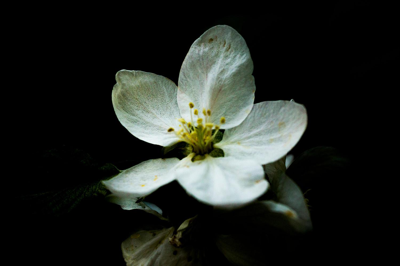 苹果花 Apple flower