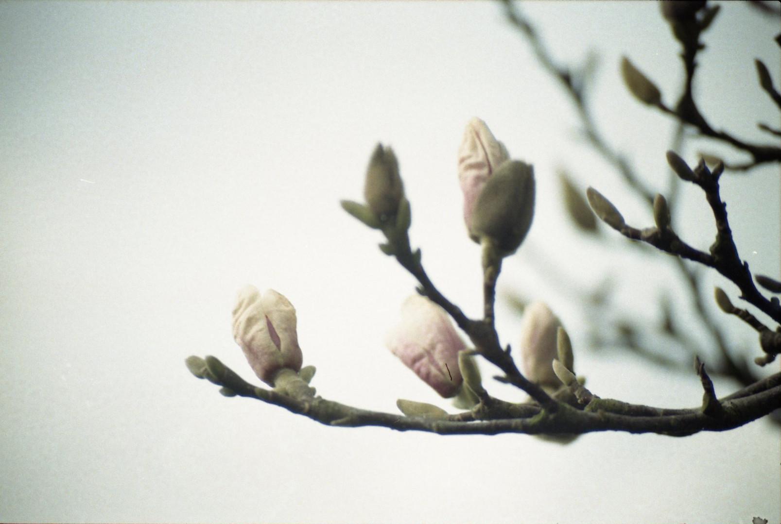 玉兰 Magnolia