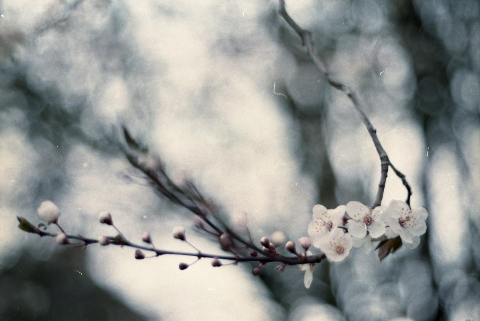 李子花 Plum flower