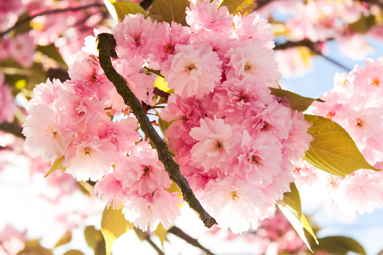 樱花 Cherry Blossom