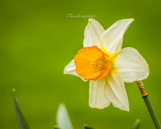Sun cup flower