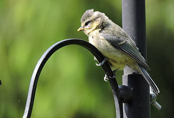 Tit perched at Feeding Station