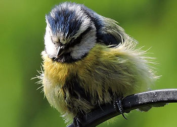 Perching tit