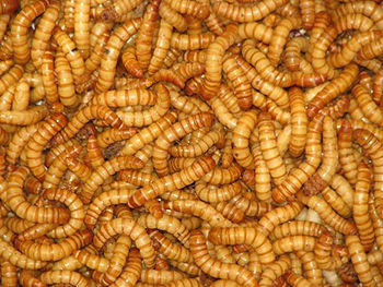 This is an image of Meal Worms