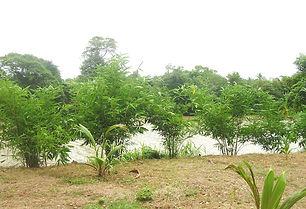 fitorremediacion bambu