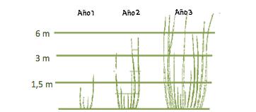 ¿A qué velocidad crece el bambú?