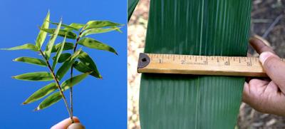 Bambúes, hojas verdes todo el año