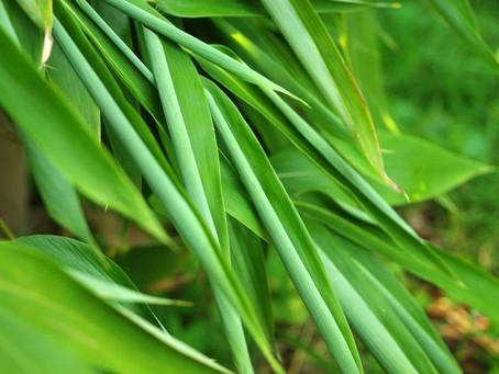 ¿Puede el bambú sobrevivir a sequías?