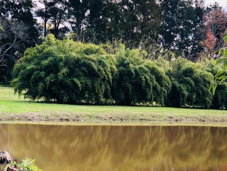 Bambúes ornamentales