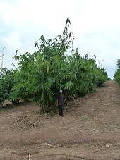 bambu en argentina