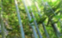 bambusa oldhamii eldorado