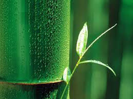 Alquimia: El Oro Verde (EL BAMBU) - VAMOSAZOOMAR