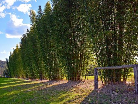 Cercos y barreras de bambú: las mayores tasas de crecimiento en el mundo!