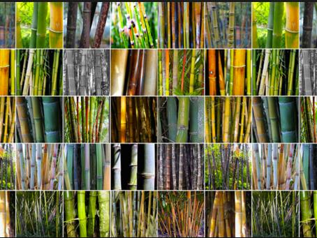 ¿Que es un bambú? Y un bambú no invasor?