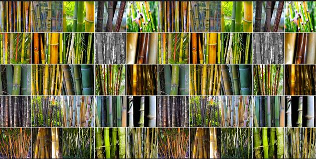 Que es un bamb y un bamb no invasor - Tipos de bambu ...