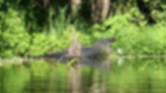 20191112 AlligatorBlueSprings (Large).JP