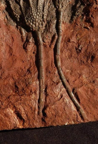 Scyphocrinites