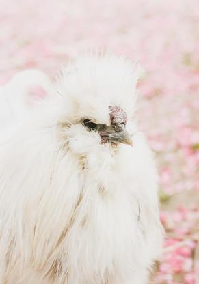 Grandpa Chicken