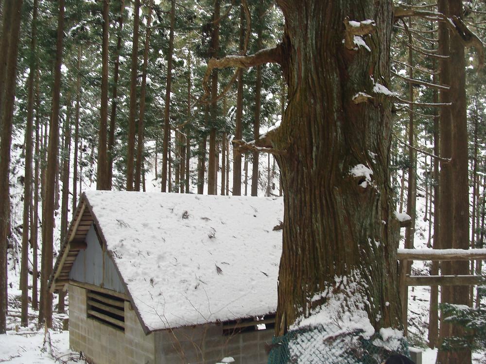 800歳の杉の木