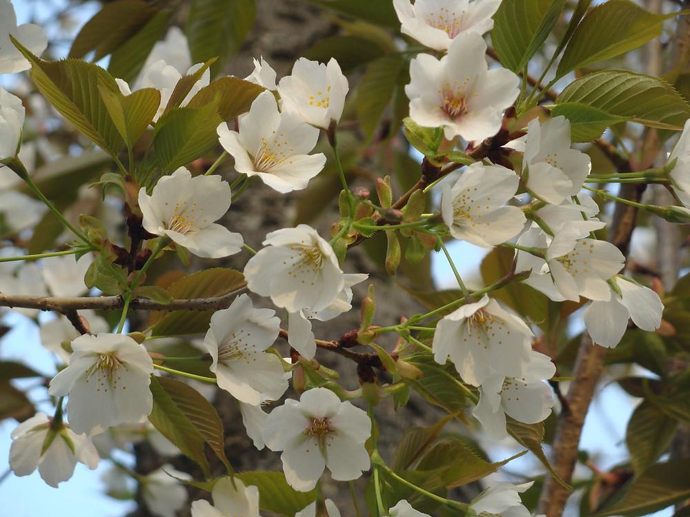 万博記念公園での桜
