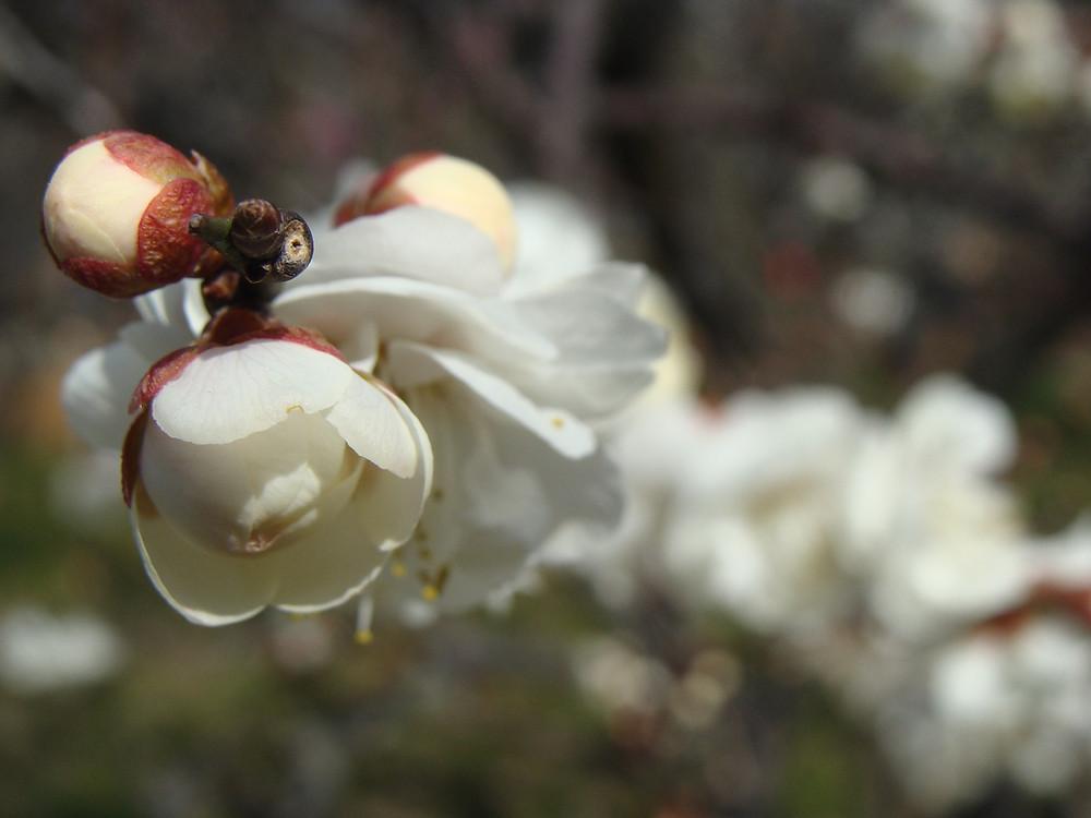 Plum Blossom in Osaka